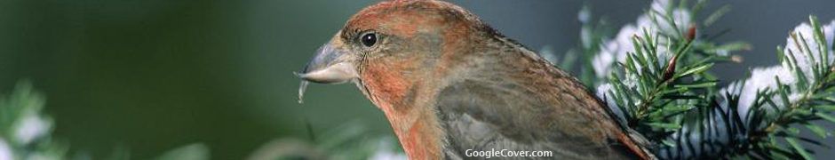 Bird in pine Google Cover