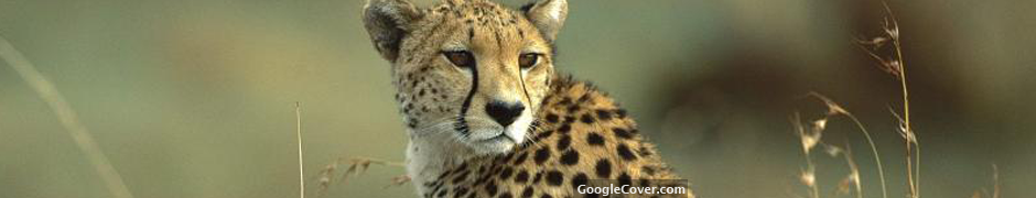 Cheetah Google Cover