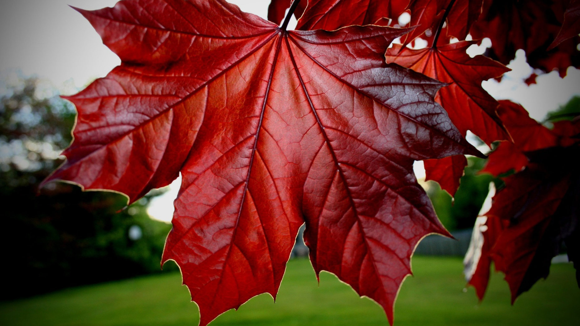 Red Maple Leaf Google Cover