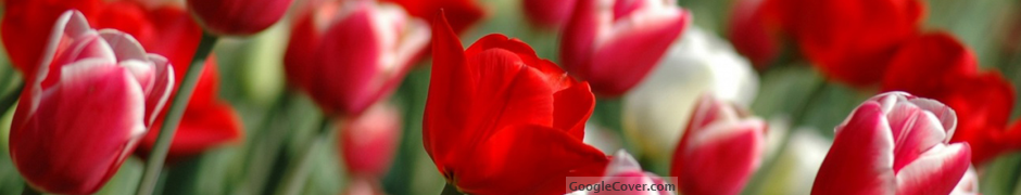 Red Tulips Google Cover