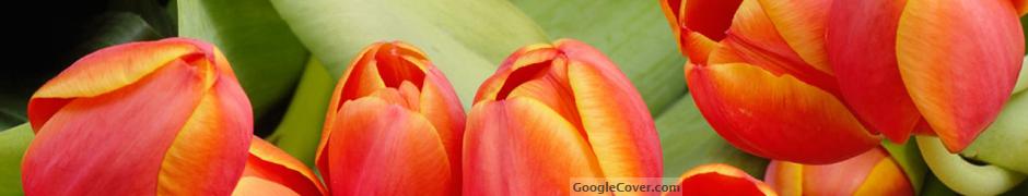 Tulip flowers Google Cover