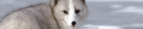 Arctic Fox Google Cover