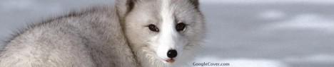Arctic Fox Google Cover