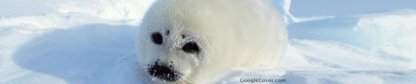 Baby Harp Seal Google Cover