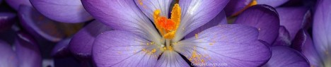 Purple Crocus Google Cover